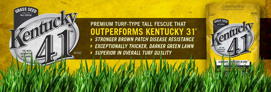 Kentucky 41 - Outperforms Kentucky 31 - Superior in Overall Turf Quality